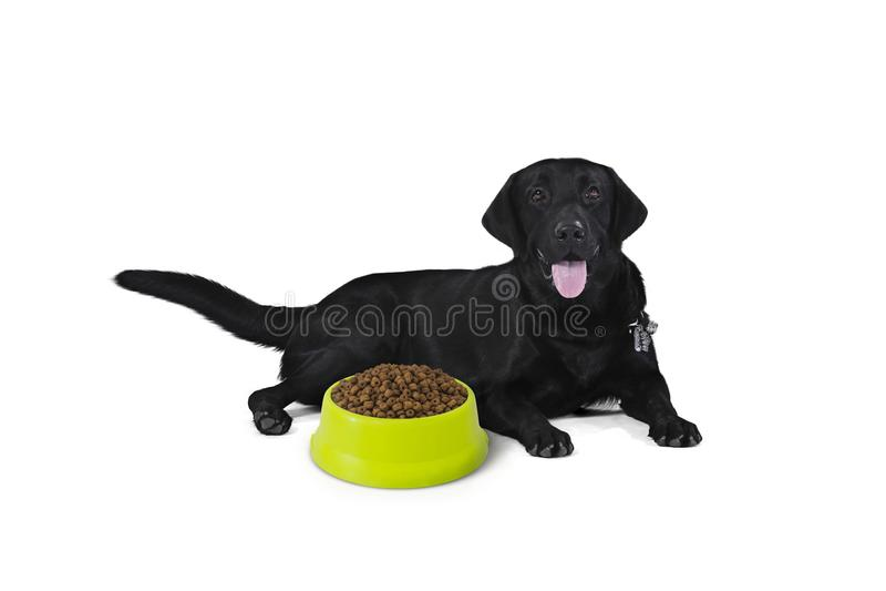 Le chiot noir de labrador retriever de 1 an, attente se reposante mangent image stock