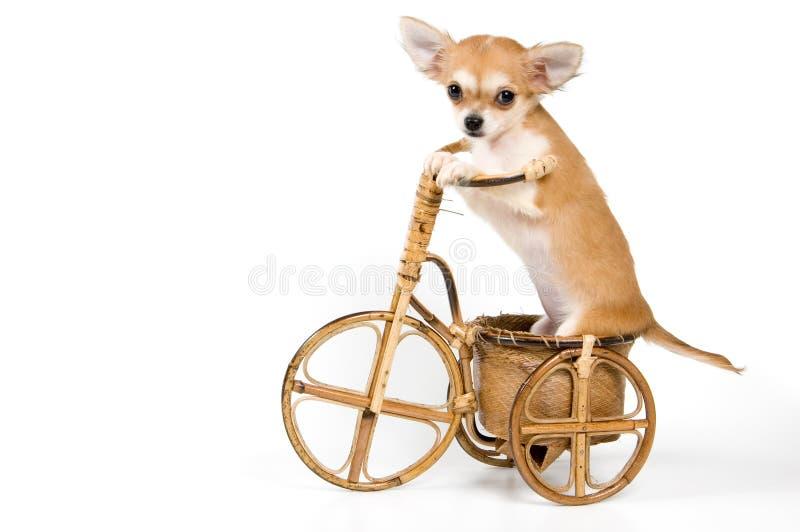 Le chiot sur une bicyclette photographie stock