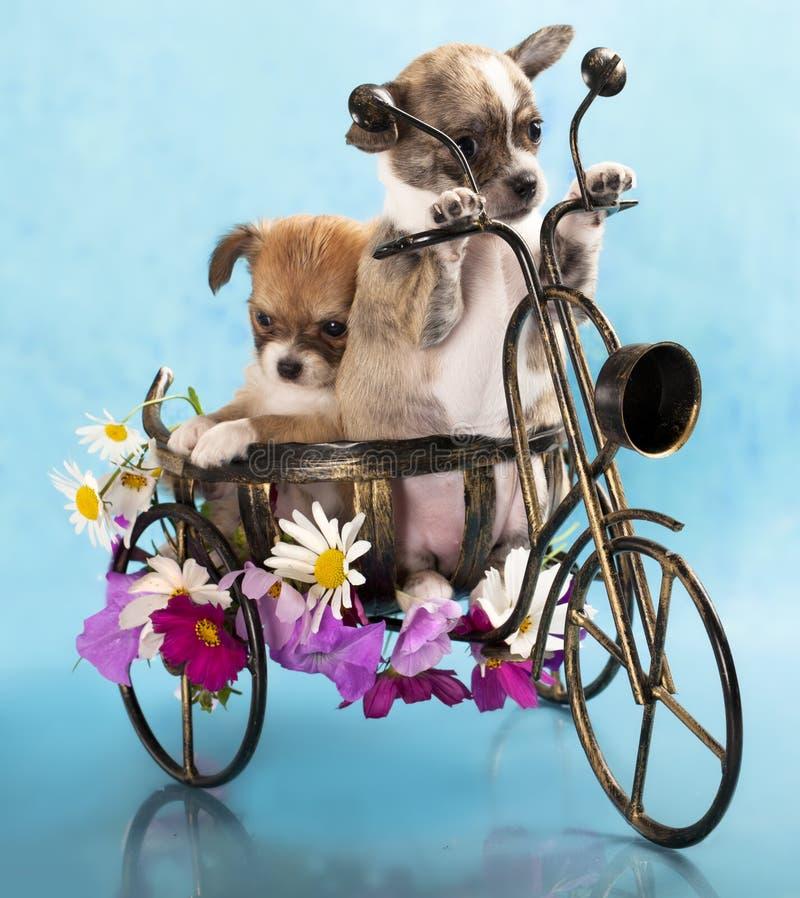 Le chiwawa de chiot sur une bicyclette image stock