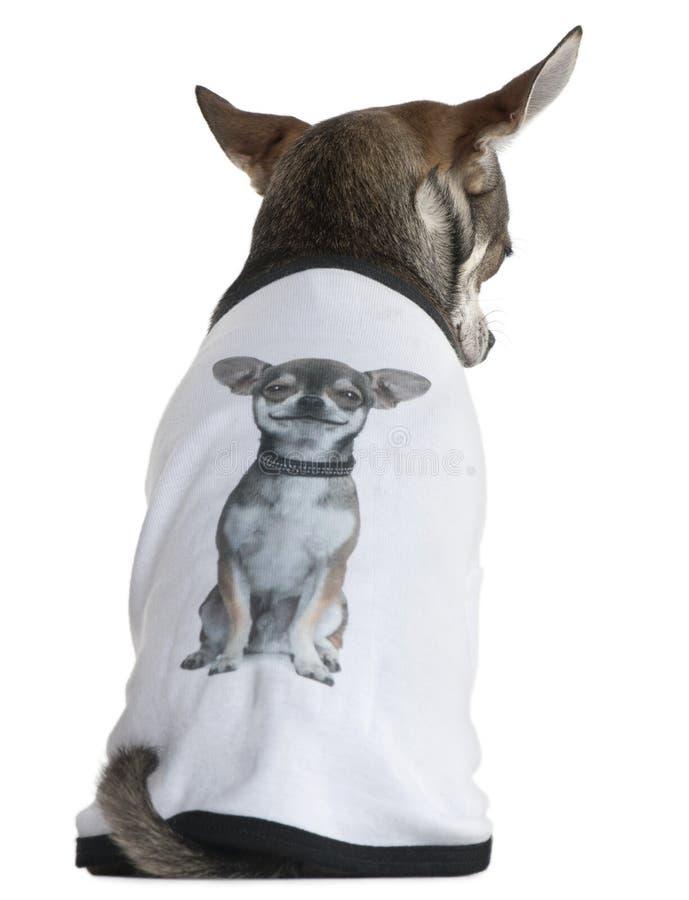 Le chiwawa a rectifié avec un T-shirt avec une photo image stock