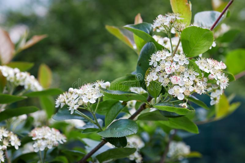 Le chokeberry noir fleurit melanocarpa d'Aronia dans le jardin photo libre de droits