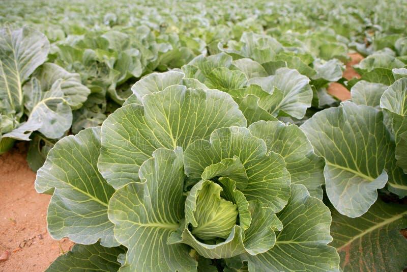 le chou met en place des lignes de nourriture végétales images stock