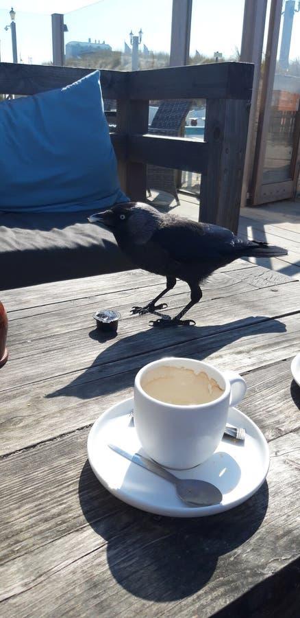 Le choucas steeling un biscuit et boit de la tasse de crème à café sur la terrasse de club de plage dans Noordwijk photo stock