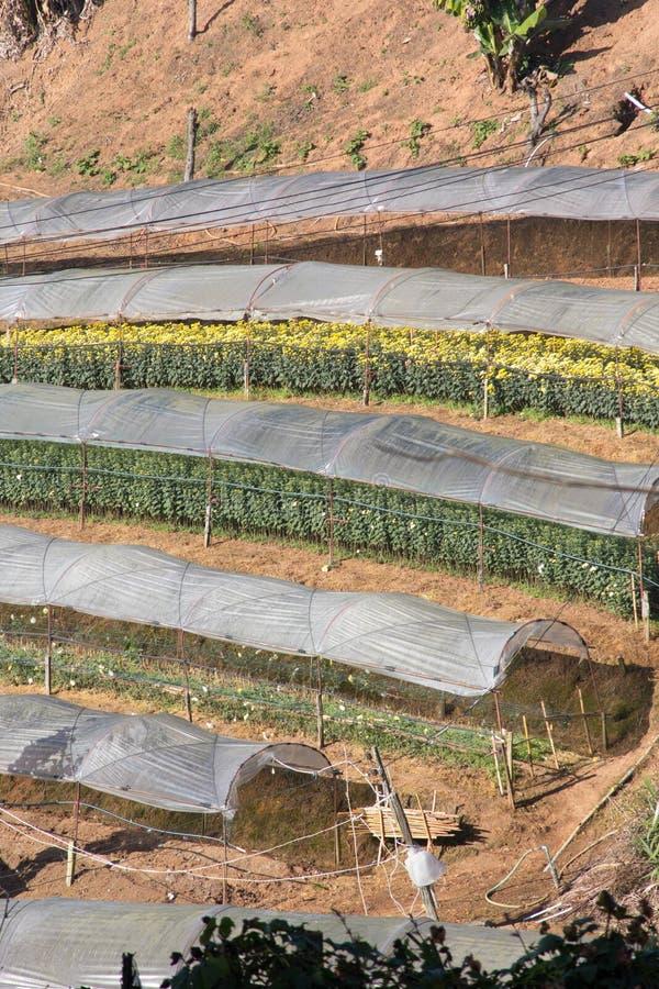 Le chrysanthème fleurit la ferme image stock
