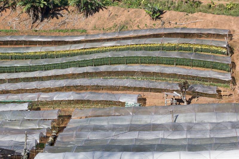 Le chrysanthème fleurit la ferme photographie stock libre de droits