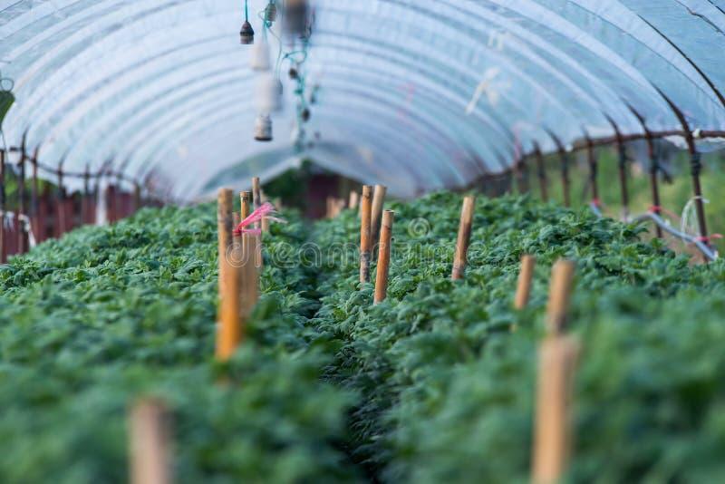 Le chrysanthème fleurit la ferme photographie stock