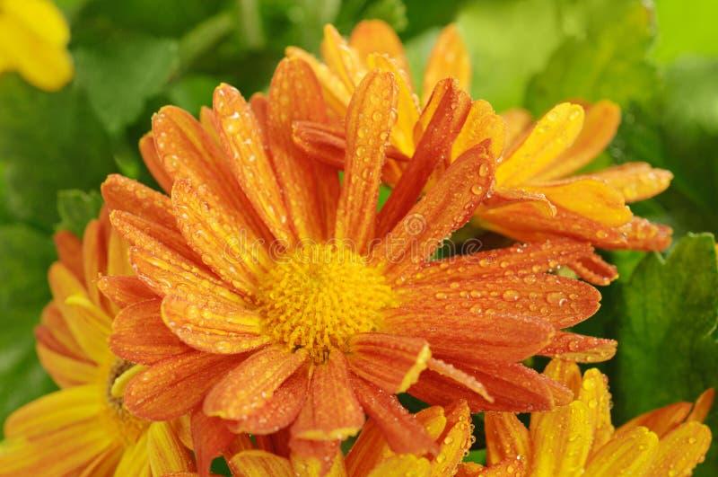 Macro de chrysanthème photographie stock libre de droits