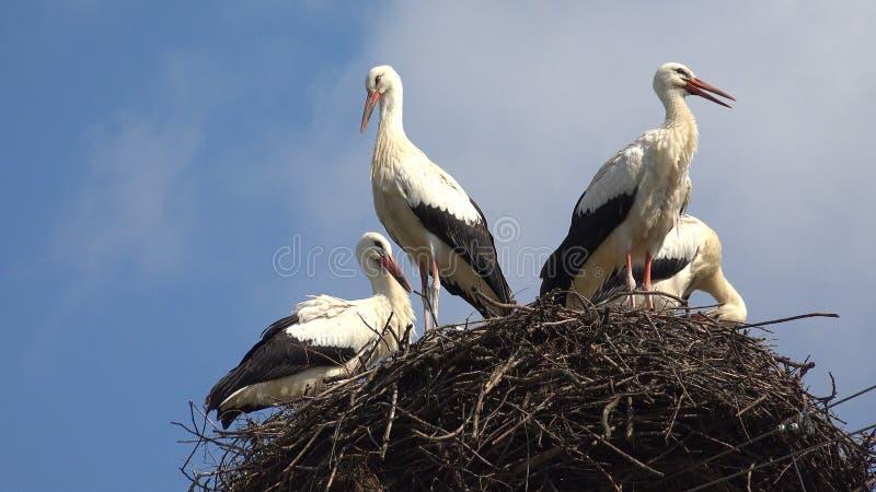 Le cicogne annidano su un Palo, incastramento della famiglia di uccelli, stormo delle cicogne in cielo, vista della natura immagini stock