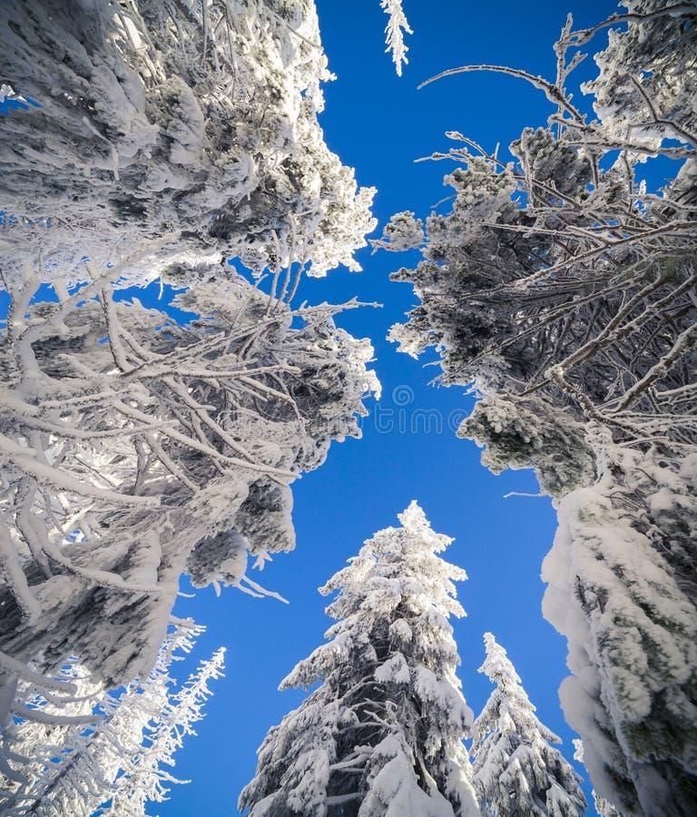 Le cime degli abeti innevati su fondo di cielo blu immagini stock libere da diritti