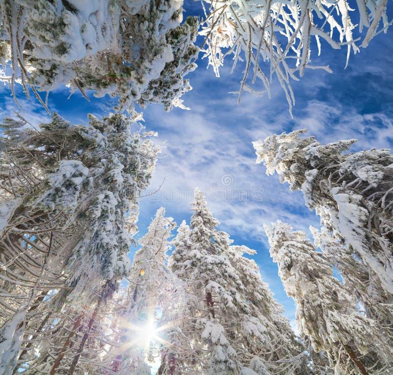 Le cime degli abeti innevati sui precedenti di cielo blu fotografia stock