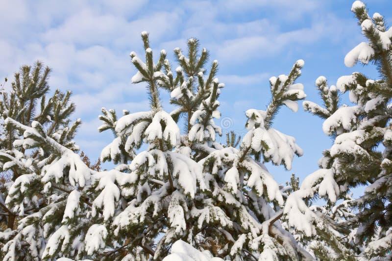 Le cime delle conifere coperte di neve fotografia stock