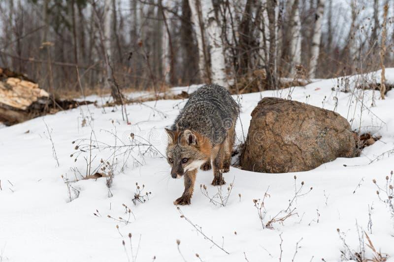 Le cinereoargenteus de Grey Fox Urocyon fait un pas en avant hiver photos stock