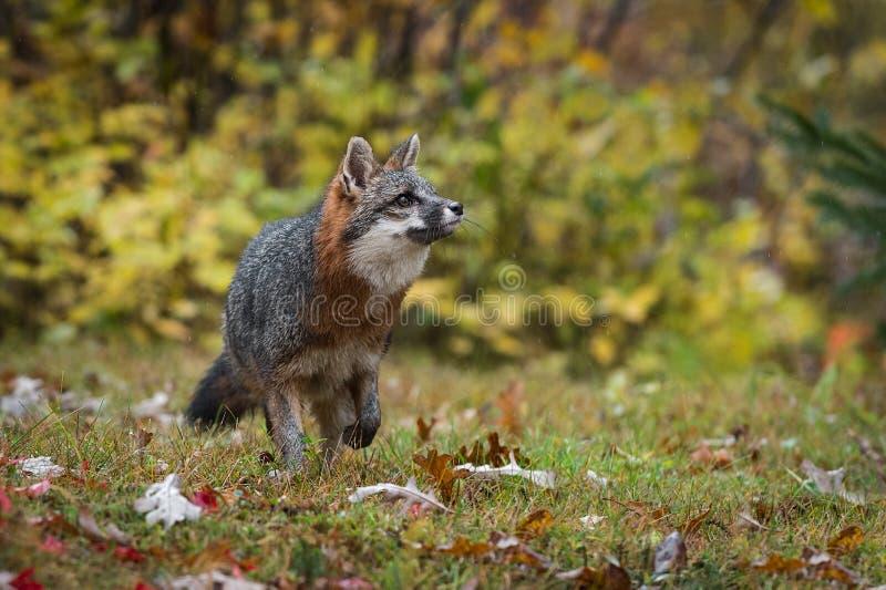 Le cinereoargenteus de Grey Fox Urocyon recherche pour redresser l'automne photos libres de droits