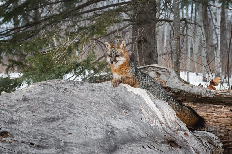 Le cinereoargenteus de Grey Fox Urocyon regarde au-dessus de l'hiver de rondin photos libres de droits