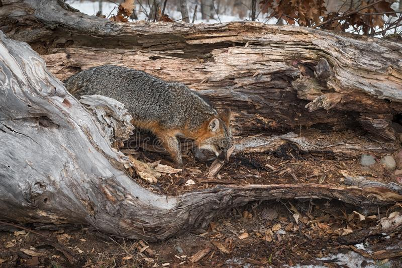 Le cinereoargenteus de Grey Fox Urocyon renifle à l'hiver de rondin image stock