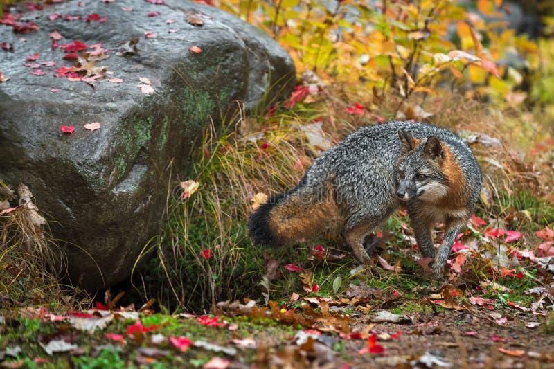 Le cinereoargenteus de Grey Fox Urocyon tourne par automne de roche images libres de droits