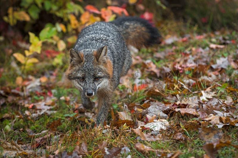Le cinereoargenteus de Grey Fox Urocyon trotte automne en avant images libres de droits