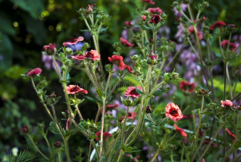 Le cinquefoil rouge du Népal fleurit le plan rapproché images stock