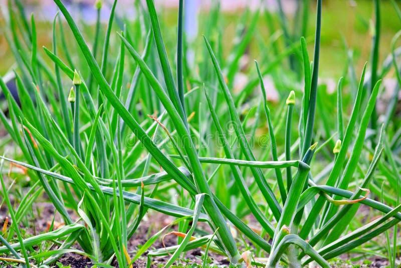 Le cipolle verdi balzano foto di riserva bio- di giardinaggio di piantatura domestica delle verdure fotografia stock libera da diritti
