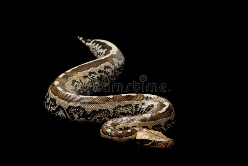 le circuit de python du Bornéo de sang a suivi photos libres de droits