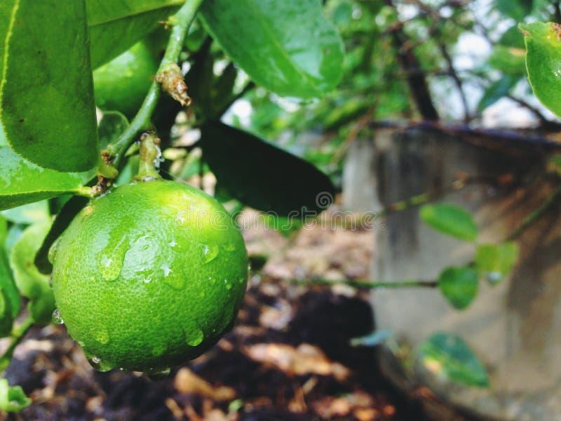 Le citron est un genre de fruit Le résultat est aigre Organisé dans l'agrume, la couleur verte une fois cuite est jaune utilisée  image libre de droits