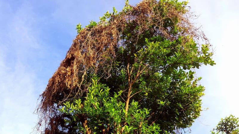 Le citronnier couvre une herbe sèche photos stock