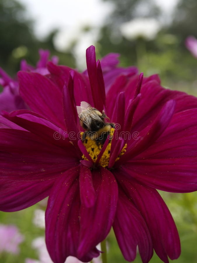 Le clic de double de bipinnatus de cosmos a mélangé 12 photo libre de droits