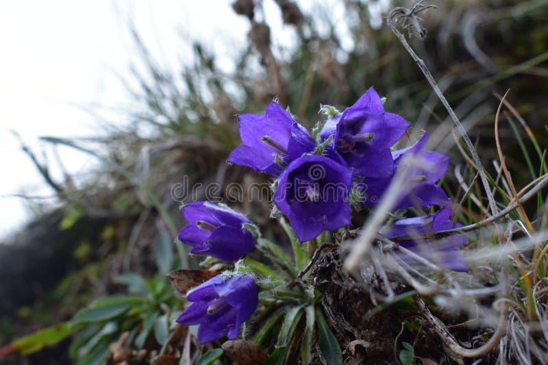 Le clin d'oeil alpin de campanule photos stock