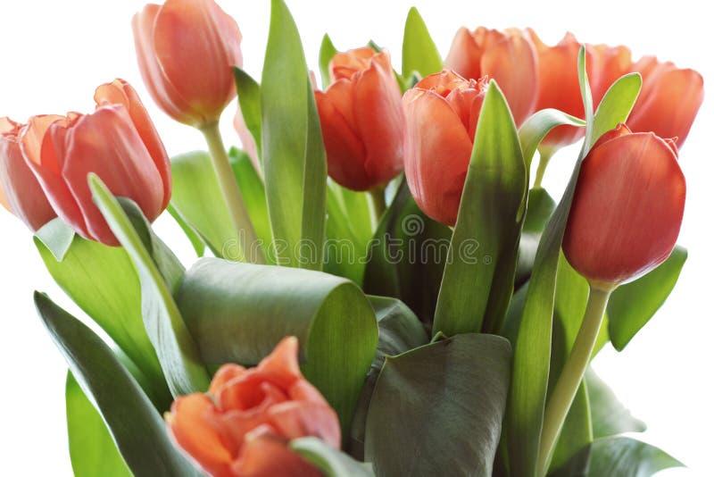Le clipart de corail de tulipe est un clipart de haute qualité de trame illustration stock
