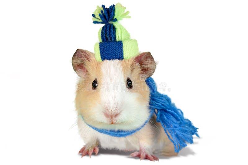 Le cobaye s'est habillé dans un chapeau et une écharpe d'hiver photo libre de droits