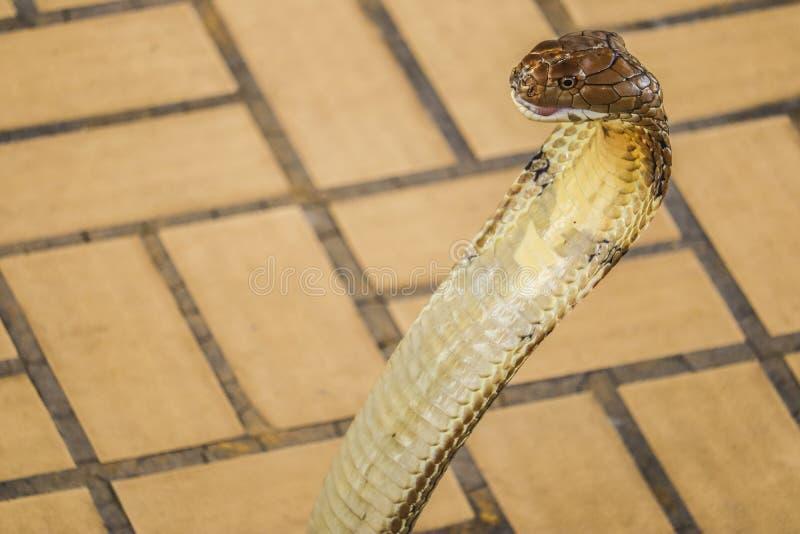 Le cobra a répandu le capot photographie stock libre de droits