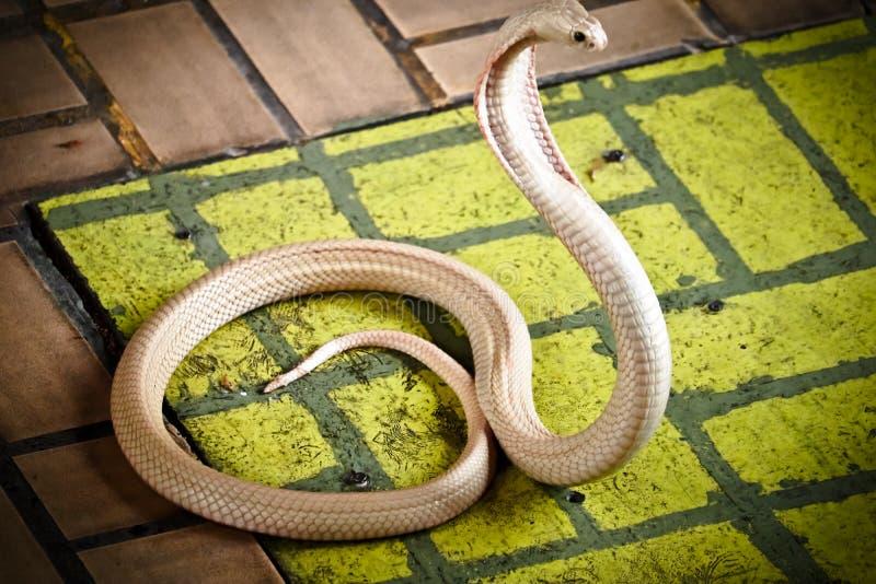 Le cobra a répandu le capot images stock