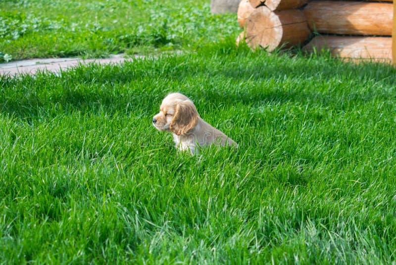 Le cocker de chiot se repose sur l'herbe verte et examine la distance images stock