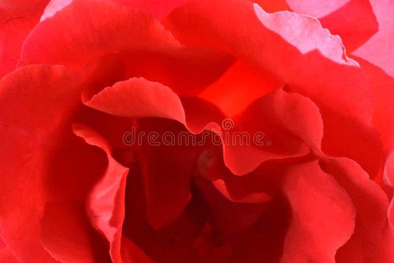 Le coeur de Rose est amour photographie stock libre de droits