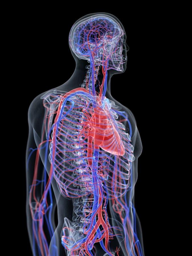 Le coeur et le système vasculaire illustration libre de droits