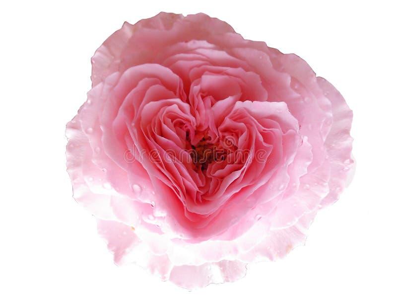 Le coeur a monté, la fleur du Saint Valentin photos libres de droits
