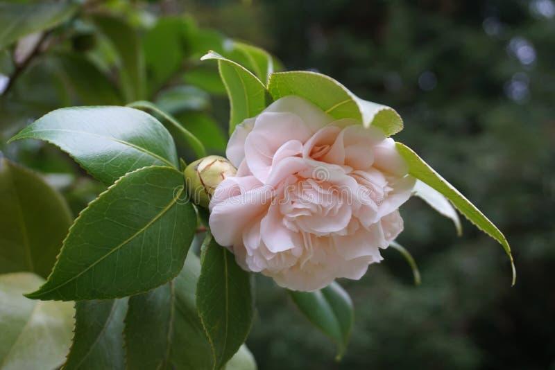 Le cognassier du Japon de camélia fleurit avec le bourgeon dans la couleur rose douce image libre de droits