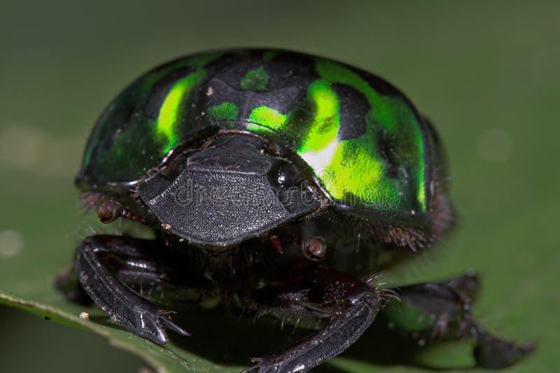 Le Coléoptère-Equateur vert photo stock
