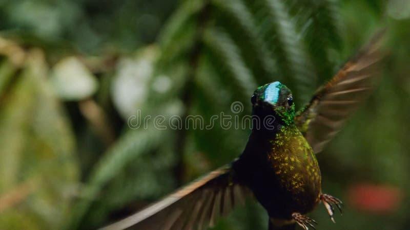 Le colibri épée-affiché est des espèces neotropical d'Equateur, colibri épée-affiché Il est montant et boire photographie stock libre de droits