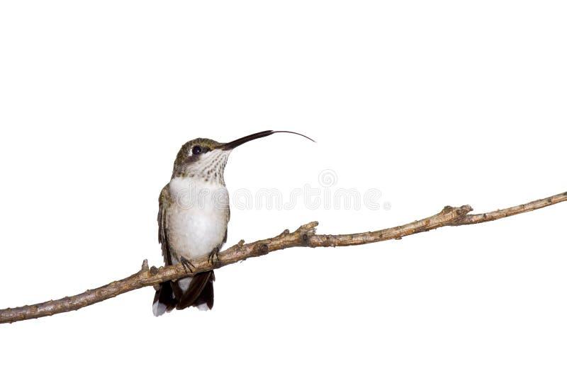 Le colibri colle à l'extérieur sa langue image stock