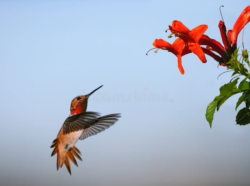 Le colibri d'Allen photo stock