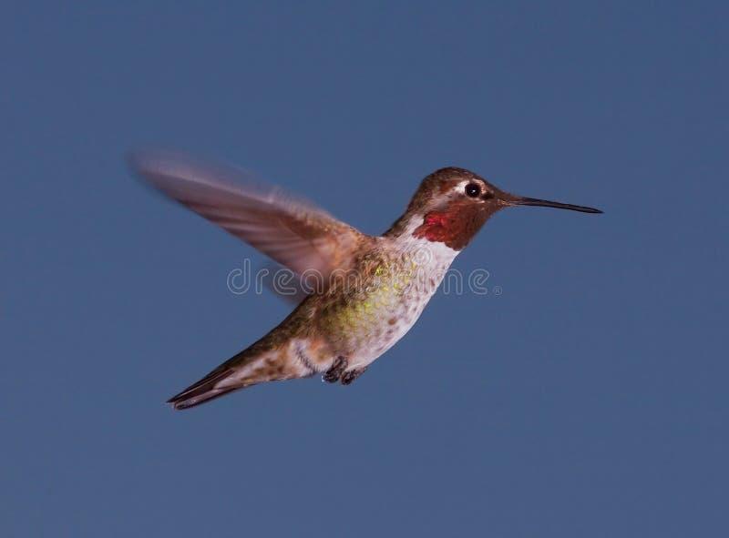 Le colibri d'Anna au crépuscule photographie stock