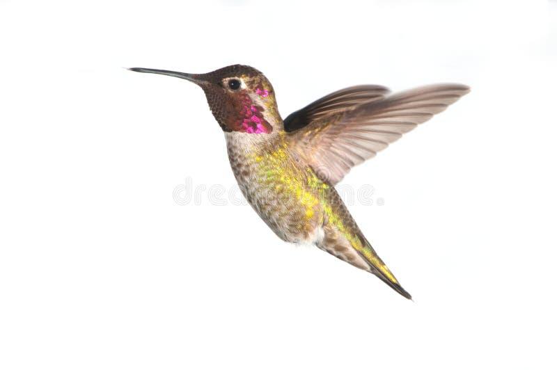 Le colibri d'Anna en vol, mâle photos stock