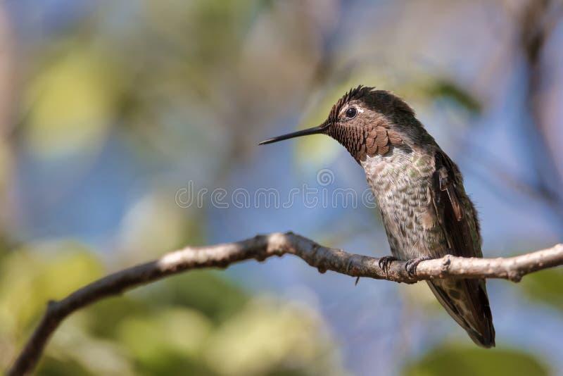 Le colibri du ` s d'Anna était perché dans un arbre, la Californie image stock