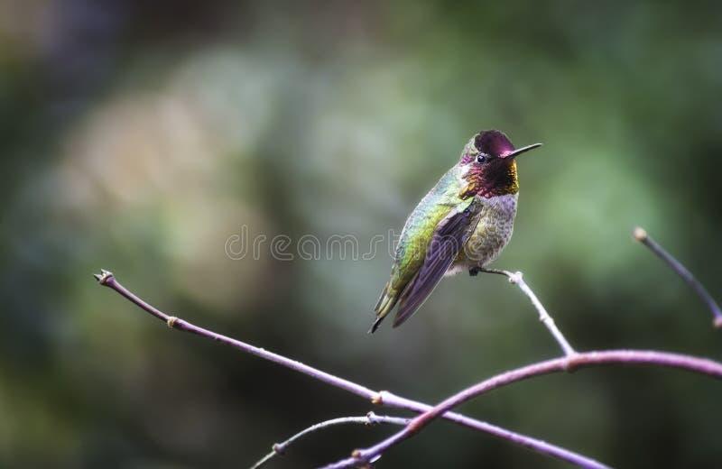 Le colibri du ` s d'Anna était perché sur une branche image stock