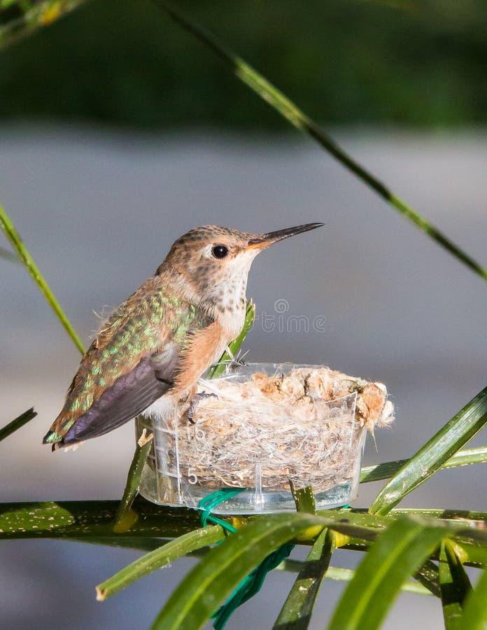 Le colibri enregistré de bébé dans font le nid de décalage photographie stock