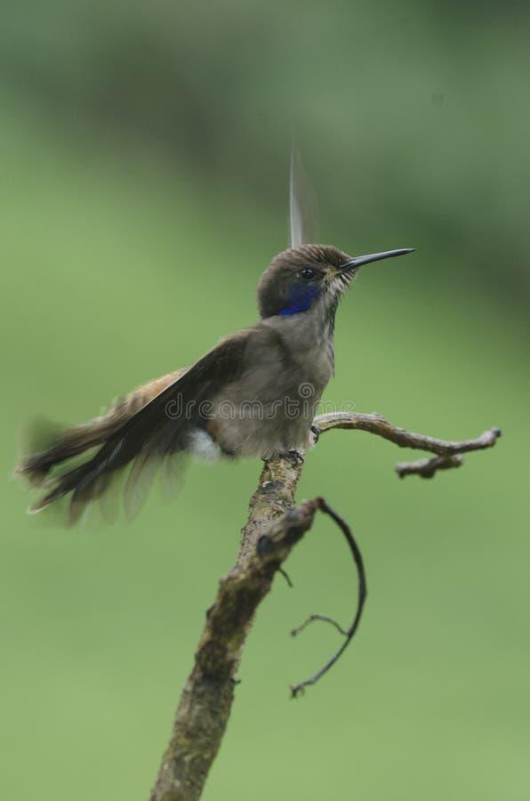 Le colibri hérisse des plumes images stock