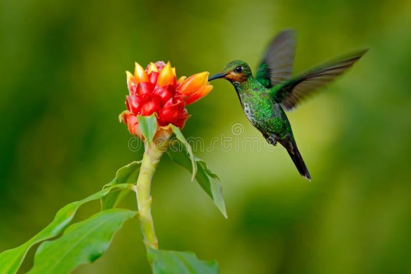 Le colibri Vert-a couronné brillant, le jacula de Heliodoxa, oiseau vert du vol de Costa Rica à côté de la belle fleur rouge avec photographie stock