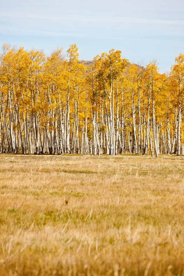 Le Colorado Aspen photographie stock libre de droits
