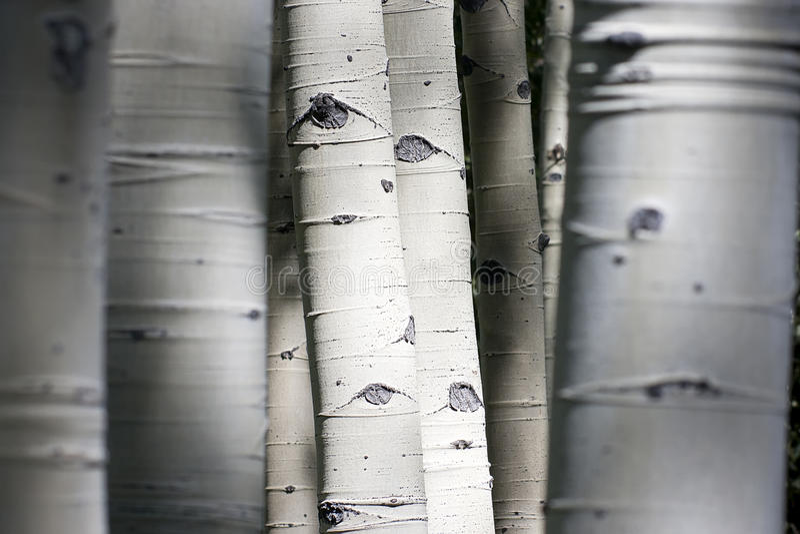 Le Colorado Rocky Mountain Aspen Trees Appear à avoir images libres de droits